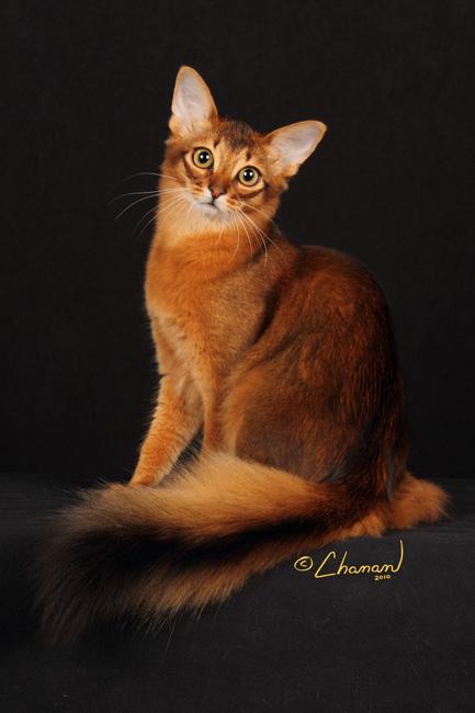 Abyssinian Cat Minnesota